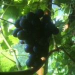 grapes ripe