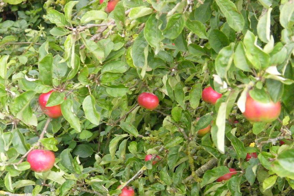 Castlefarm apples Aug 08